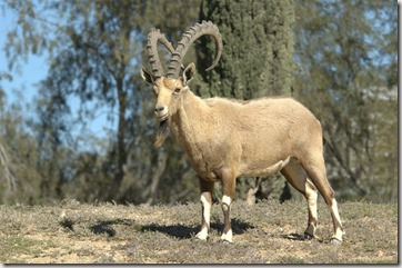 Ibex picture found at Wikipedia