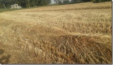 Photo of a grain field at harvest time near the Yarkon Springs in Israel by Miriam Feinberg Vamosh
